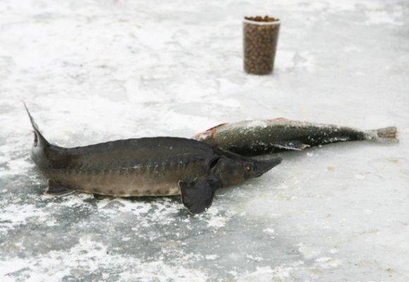 осетр ловля зимой